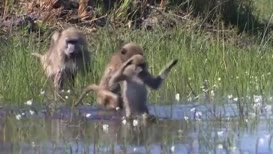 Baboons are somewhat apprehensive bathers.