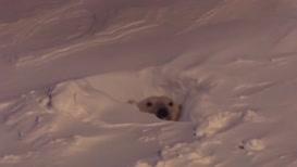 A polar bear stirs.