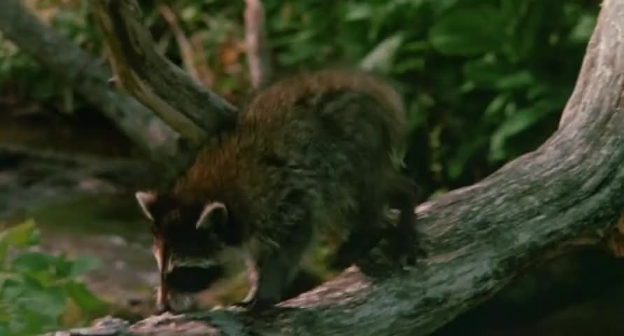 """""""That cat has got to be kidding,"""" muttered a nearby raccoon."""