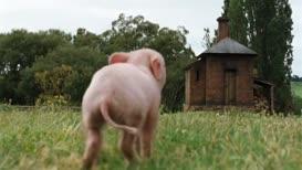 Here, pig, pig, pig!